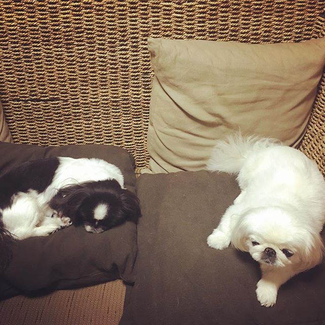 Resultado de imagen para 犬 pekingese ソファーで眠っている