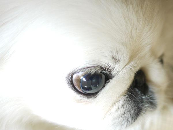 ペキニーズ画像-瞳。