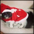 ペキニーズとクリスマス (1)