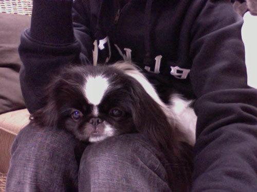 ペキニーズ Blog-白ペキニーズ シロ♂ & 白黒ペキニーズ クロ♀のフォトブログ-2013.1.20.クロ