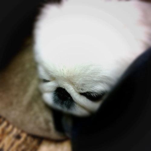 ペキニーズ Blog-白ペキニーズ シロ♂ & 白黒ペキニーズ クロ♀のフォトブログ-2013.1.20.シロ