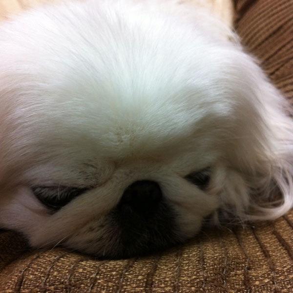 ペキニーズ Blog-白ペキニーズ シロ♂ & 白黒ペキニーズ クロ♀のフォトブログ-2012.12.21.シロ