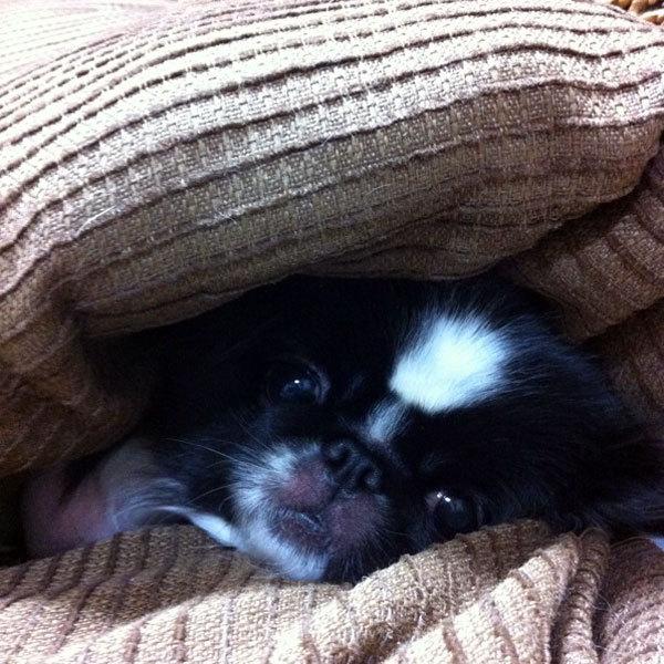 ペキニーズ Blog-白ペキニーズ シロ♂ & 白黒ペキニーズ クロ♀のフォトブログ-2012.12.21.クロ