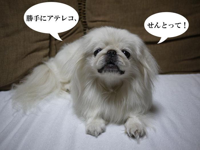 ペキニーズ ブログ -シロ-2