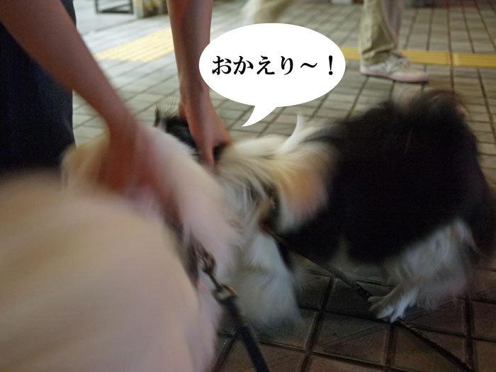 ペキニーズ Blog-白ペキニーズ シロ♂ & 白黒ペキニーズ クロ♀のフォトブログ-2012.10.20.シロクロ3