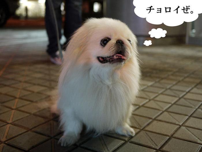 ペキニーズ Blog-白ペキニーズ シロ♂ & 白黒ペキニーズ クロ♀のフォトブログ-2012.10.20.シロ5
