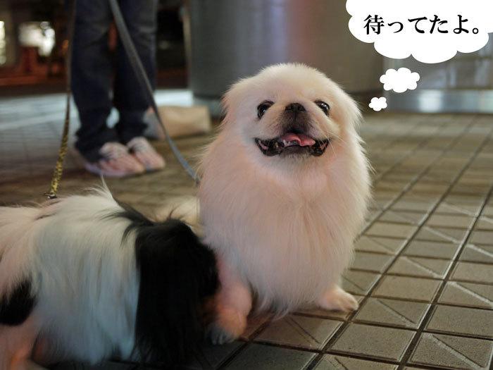 ペキニーズ Blog-白ペキニーズ シロ♂ & 白黒ペキニーズ クロ♀のフォトブログ-2012.10.20.シロ4