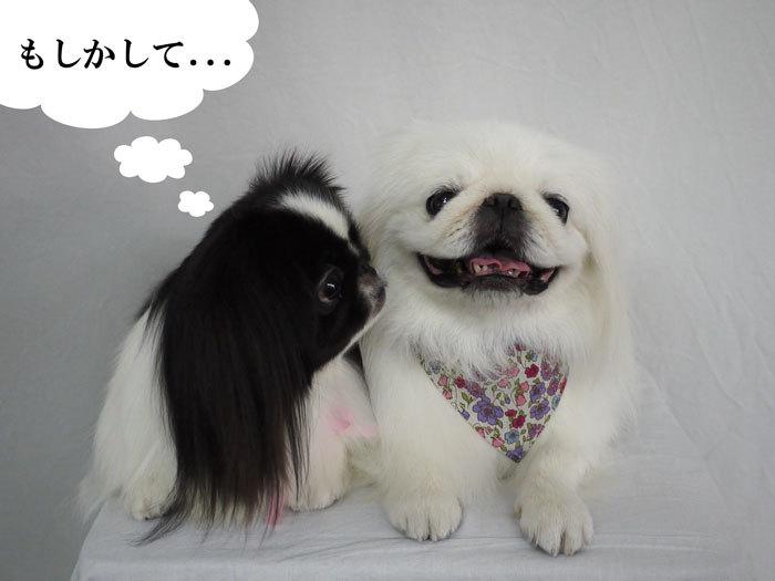 ペキニーズ Blog-白ペキニーズ シロ♂ & 白黒ペキニーズ クロ♀のフォトブログ-2012.10.25.シロクロ12