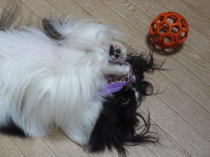 ペキニーズ Blog-白ペキニーズ シロ♂ & 白黒ペキニーズ クロ♀のフォトブログ-2012.10.30.クロ13
