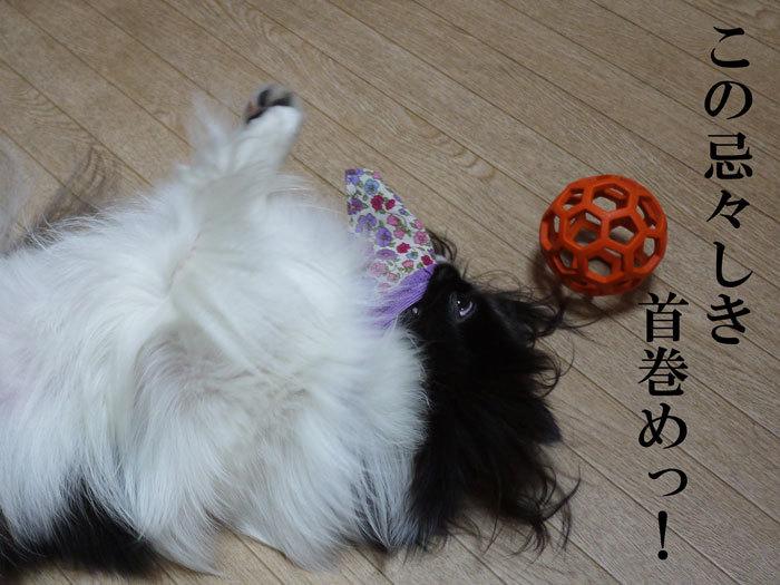 ペキニーズ Blog-白ペキニーズ シロ♂ & 白黒ペキニーズ クロ♀のフォトブログ-2012.10.30.クロ14