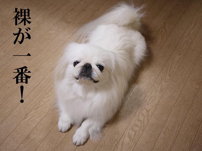 ペキニーズ Blog-白ペキニーズ シロ♂ & 白黒ペキニーズ クロ♀のフォトブログ-2012.10.30.シロ16