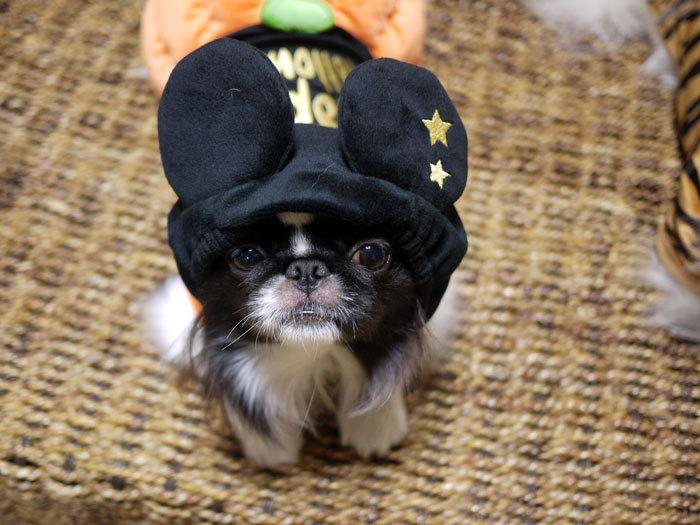 ペキニーズ Blog-白ペキニーズ シロ♂ & 白黒ペキニーズ クロ♀のフォトブログ-2012.10.31.クロ2