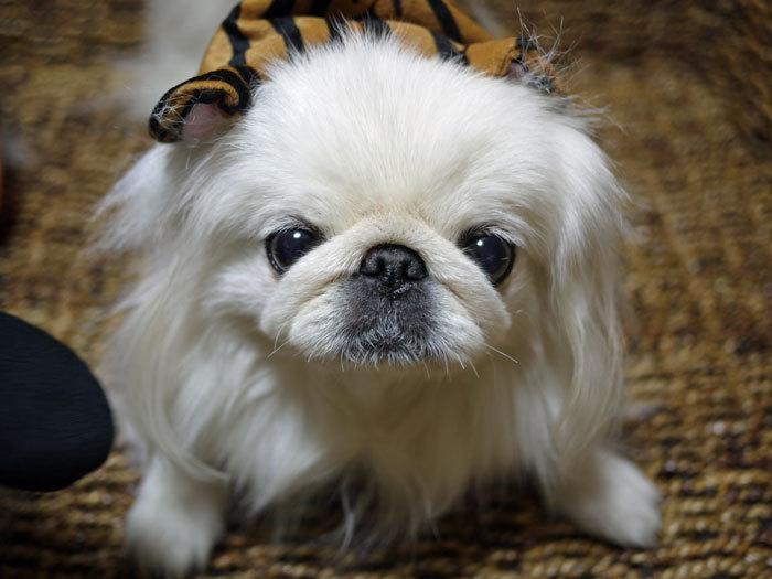 ペキニーズ Blog-白ペキニーズ シロ♂ & 白黒ペキニーズ クロ♀のフォトブログ-2012.10.31.シロ3