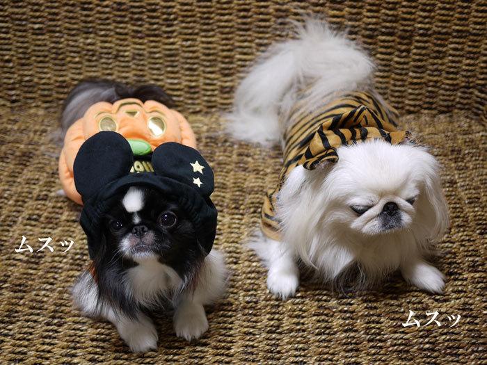 ペキニーズ Blog-白ペキニーズ シロ♂ & 白黒ペキニーズ クロ♀のフォトブログ-2012.10.31.シロクロ4