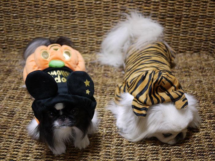 ペキニーズ Blog-白ペキニーズ シロ♂ & 白黒ペキニーズ クロ♀のフォトブログ-2012.10.31.シロクロ6