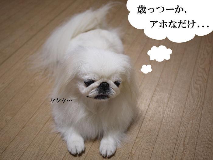 ペキニーズ Blog-白ペキニーズ シロ♂ & 白黒ペキニーズ クロ♀のフォトブログ-2012.11.7.シロ4