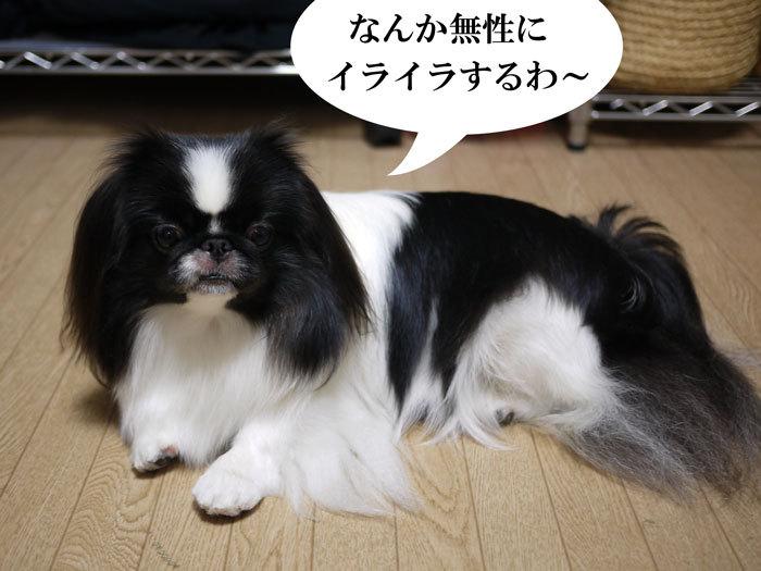 ペキニーズ Blog-白ペキニーズ シロ♂ & 白黒ペキニーズ クロ♀のフォトブログ-2012.11.15.クロ4