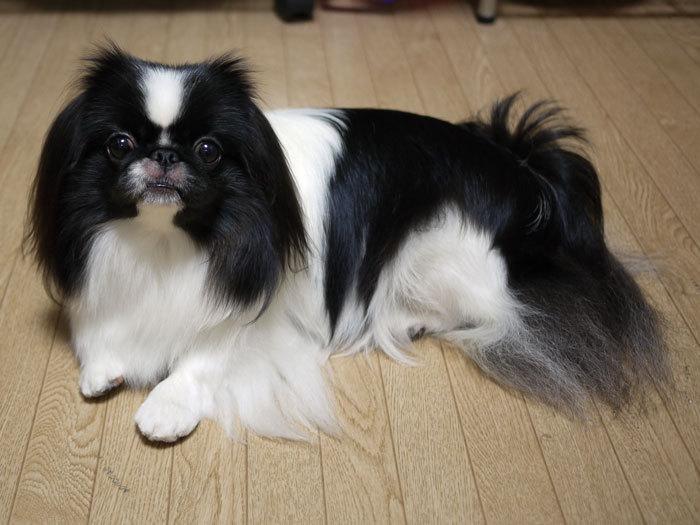 ペキニーズ Blog-白ペキニーズ シロ♂ & 白黒ペキニーズ クロ♀のフォトブログ-2012.11.15.クロ1