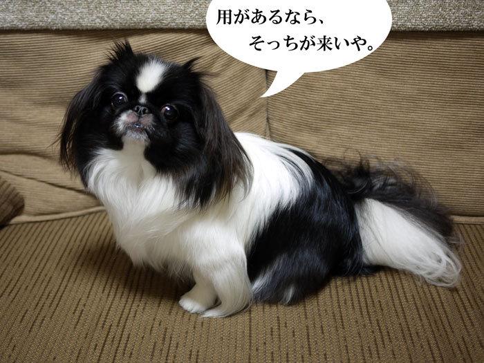 ペキニーズ Blog-白ペキニーズ シロ♂ & 白黒ペキニーズ クロ♀のフォトブログ-2012.11.19.クロ2