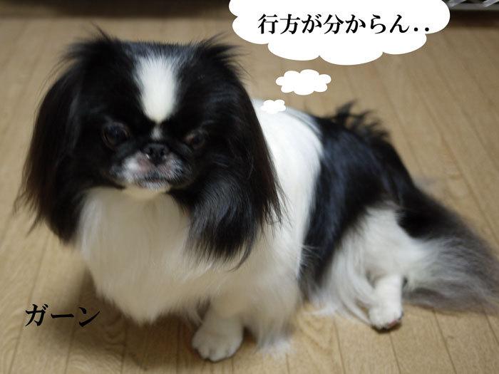 ペキニーズ Blog-白ペキニーズ シロ♂ & 白黒ペキニーズ クロ♀のフォトブログ-2012.11.21.クロ1