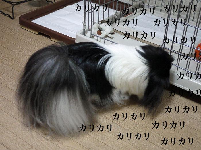 ペキニーズ Blog-白ペキニーズ シロ♂ & 白黒ペキニーズ クロ♀のフォトブログ-2012.11.21.クロ5