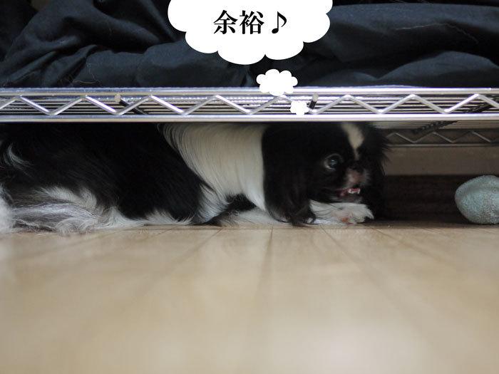 ペキニーズ Blog-白ペキニーズ シロ♂ & 白黒ペキニーズ クロ♀のフォトブログ-2012.11.21.クロ7