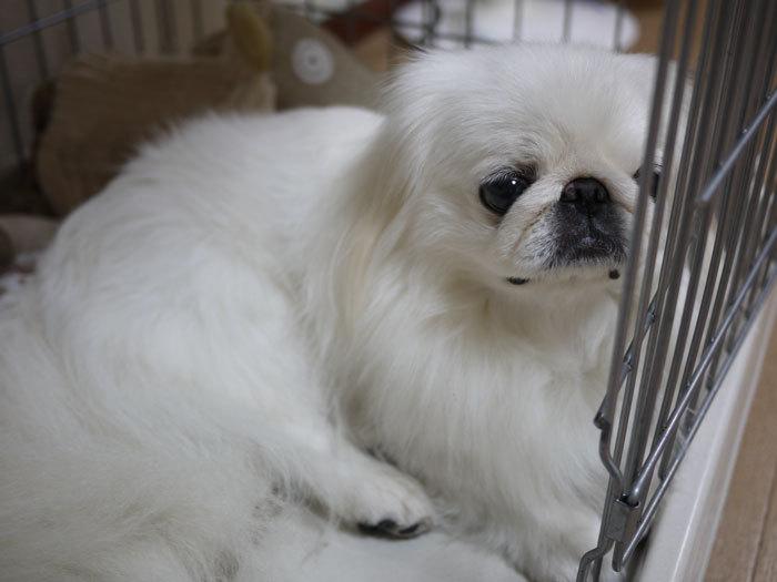 ペキニーズ Blog-白ペキニーズ シロ♂ & 白黒ペキニーズ クロ♀のフォトブログ-2012.11.23.シロ5