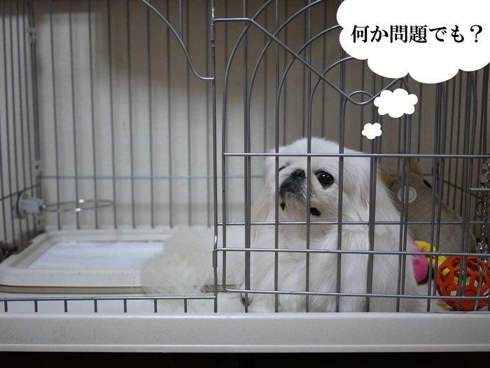 ペキニーズ Blog-白ペキニーズ シロ♂ & 白黒ペキニーズ クロ♀のフォトブログ-2012.11.23.シロ3