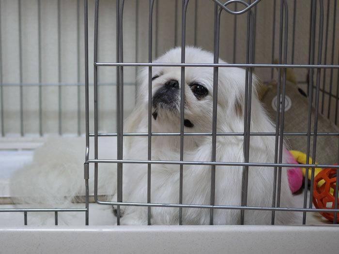 ペキニーズ Blog-白ペキニーズ シロ♂ & 白黒ペキニーズ クロ♀のフォトブログ-2012.11.23.シロ4