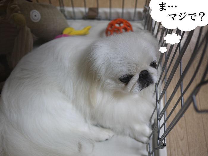 ペキニーズ Blog-白ペキニーズ シロ♂ & 白黒ペキニーズ クロ♀のフォトブログ-2012.11.23.シロ7
