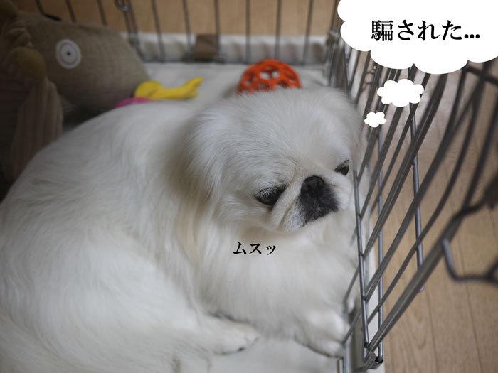 ペキニーズ Blog-白ペキニーズ シロ♂ & 白黒ペキニーズ クロ♀のフォトブログ-2012.11.23.シロ8