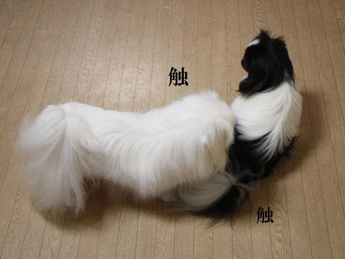 ペキニーズ Blog-白ペキニーズ シロ♂ & 白黒ペキニーズ クロ♀のフォトブログ-2012.11.25.シロクロ2
