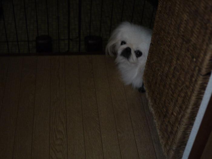 ペキニーズ Blog-白ペキニーズ シロ♂ & 白黒ペキニーズ クロ♀のフォトブログ-2012.12.13.シロ1