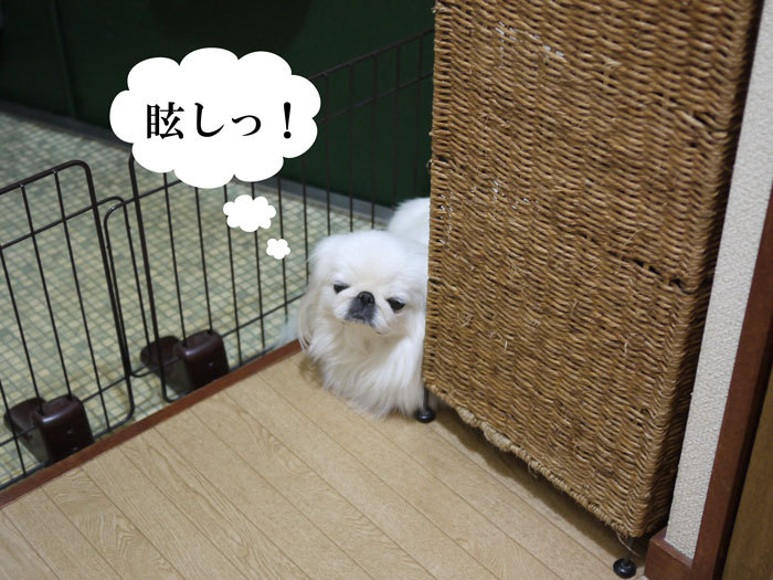 ペキニーズ Blog-白ペキニーズ シロ♂ & 白黒ペキニーズ クロ♀のフォトブログ-2012.12.13.シロ5