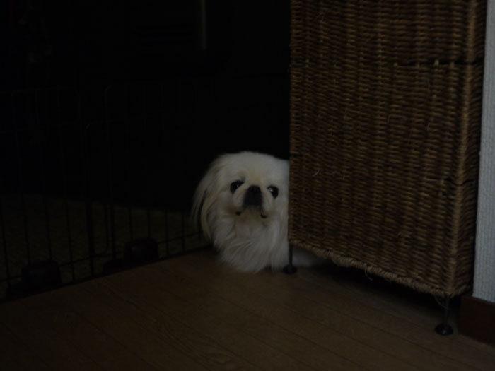 ペキニーズ Blog-白ペキニーズ シロ♂ & 白黒ペキニーズ クロ♀のフォトブログ-2012.12.13.シロ4