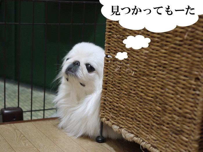 ペキニーズ Blog-白ペキニーズ シロ♂ & 白黒ペキニーズ クロ♀のフォトブログ-2012.12.13.シロ6