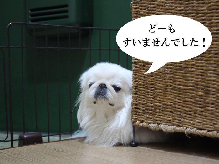ペキニーズ Blog-白ペキニーズ シロ♂ & 白黒ペキニーズ クロ♀のフォトブログ-2012.12.13.シロ7