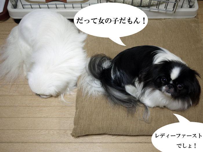 ペキニーズ Blog-白ペキニーズ シロ♂ & 白黒ペキニーズ クロ♀のフォトブログ-2013.1.28.シロクロ6