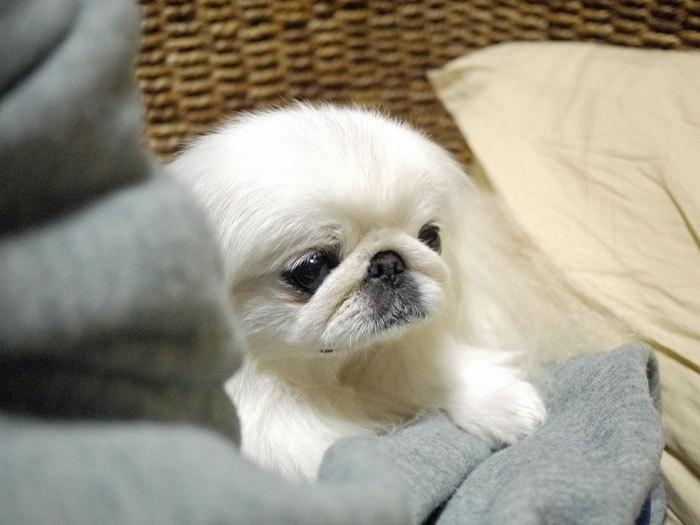 ペキニーズ Blog-白ペキニーズ シロ♂ & 白黒ペキニーズ クロ♀のフォトブログ-2013.1.31.シロ1