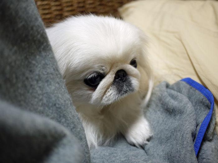 ペキニーズ Blog-白ペキニーズ シロ♂ & 白黒ペキニーズ クロ♀のフォトブログ-2013.1.31.シロ2