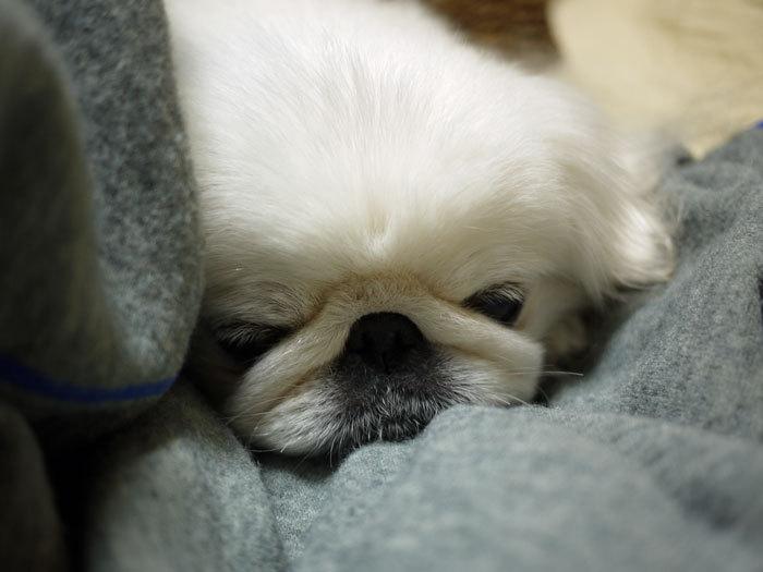 ペキニーズ Blog-白ペキニーズ シロ♂ & 白黒ペキニーズ クロ♀のフォトブログ-2013.1.31.シロ4
