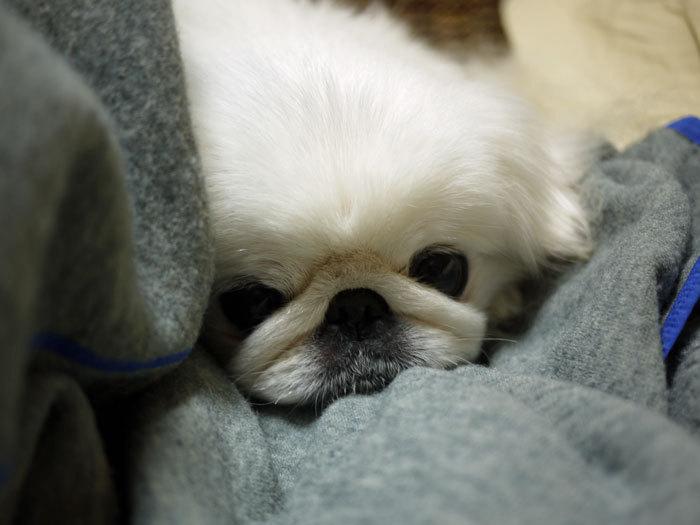 ペキニーズ Blog-白ペキニーズ シロ♂ & 白黒ペキニーズ クロ♀のフォトブログ-2013.1.31.シロ3