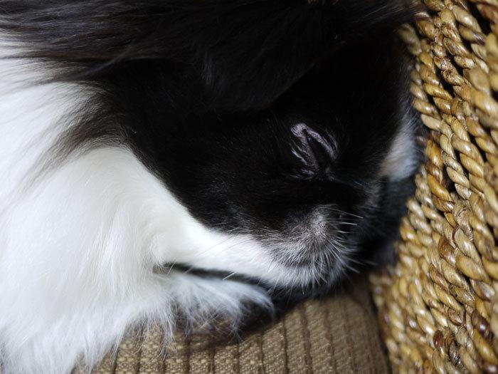 ペキニーズ Blog-白ペキニーズ シロ♂ & 白黒ペキニーズ クロ♀のフォトブログ-2013.1.31.クロ5