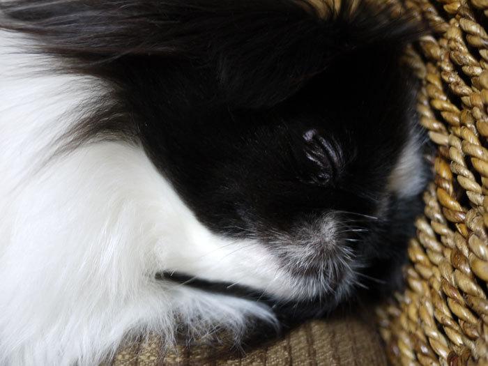 ペキニーズ Blog-白ペキニーズ シロ♂ & 白黒ペキニーズ クロ♀のフォトブログ-2013.1.31.クロ6