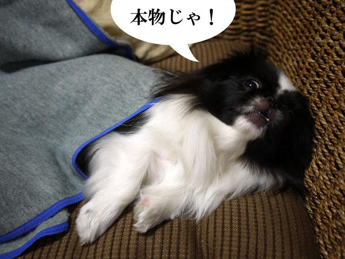 ペキニーズ Blog-白ペキニーズ シロ♂ & 白黒ペキニーズ クロ♀のフォトブログ-2013.1.31.クロ7