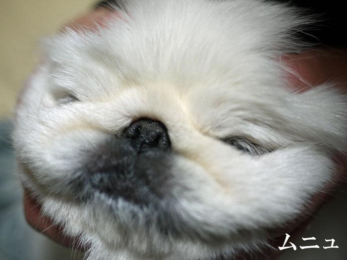 ペキニーズ Blog-白ペキニーズ シロ♂ & 白黒ペキニーズ クロ♀のフォトブログ-2013.2.3.シロ2