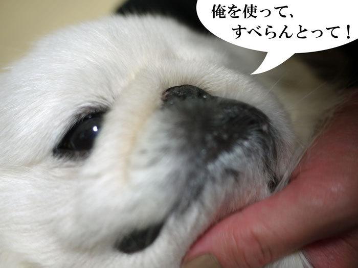 ペキニーズ Blog-白ペキニーズ シロ♂ & 白黒ペキニーズ クロ♀のフォトブログ-2013.2.3.シロ3