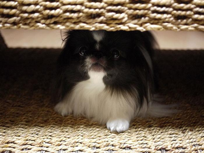 ペキニーズ Blog-白ペキニーズ シロ♂ & 白黒ペキニーズ クロ♀のフォトブログ-2013.2.5.クロ4