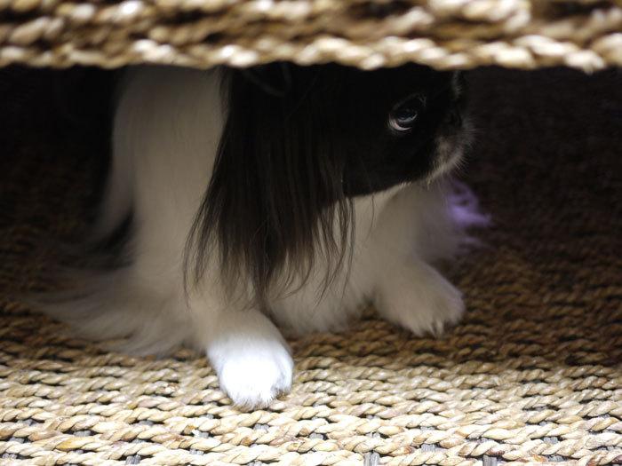 ペキニーズ Blog-白ペキニーズ シロ♂ & 白黒ペキニーズ クロ♀のフォトブログ-2013.2.5.クロ5