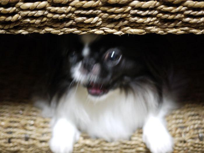 ペキニーズ Blog-白ペキニーズ シロ♂ & 白黒ペキニーズ クロ♀のフォトブログ-2013.2.5.クロ8